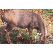 Martin Paper Targets Whitetail