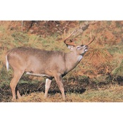 Delta McKenzie Tru-Life Eastern Series Large Game - Deer Rut