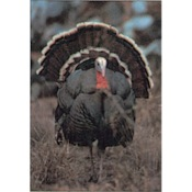 Delta McKenzie Tru-Life Western Series Small Game - Strut Turkey