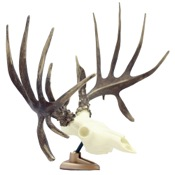 SPG Raxx Dashboard Whitetail Deer Skull