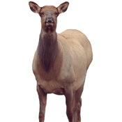 Montana Eichler Elk Decoy